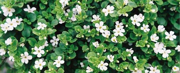 Learn How Bacopa Will Help You Retain Information